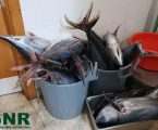 GNR Madeira :  Caniçal – 505 quilos de atum apreendidos